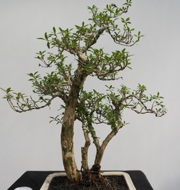 Bonsai Snow Rose, Serissa foetida, no. 7861