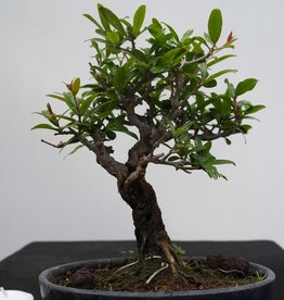 Bonsai Shohin Punica granatum, no. 7770