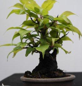 Bonsai Shohin Albaricoquero japonés, Prunus mume, no. 7780