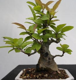 Bonsai Shohin Ilex serrata, no. 7781