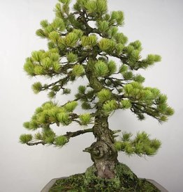 Bonsai Pinus penthaphylla, no. 5299