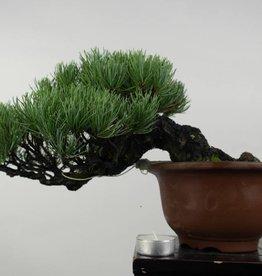 Bonsai Shohin Pinus parviflora, no. 5397