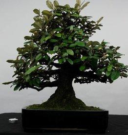 Bonsai Elaeagnus, no. 5143