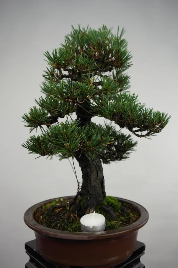 Bonsai Pinus thunbergii kotobuki, no. 5494