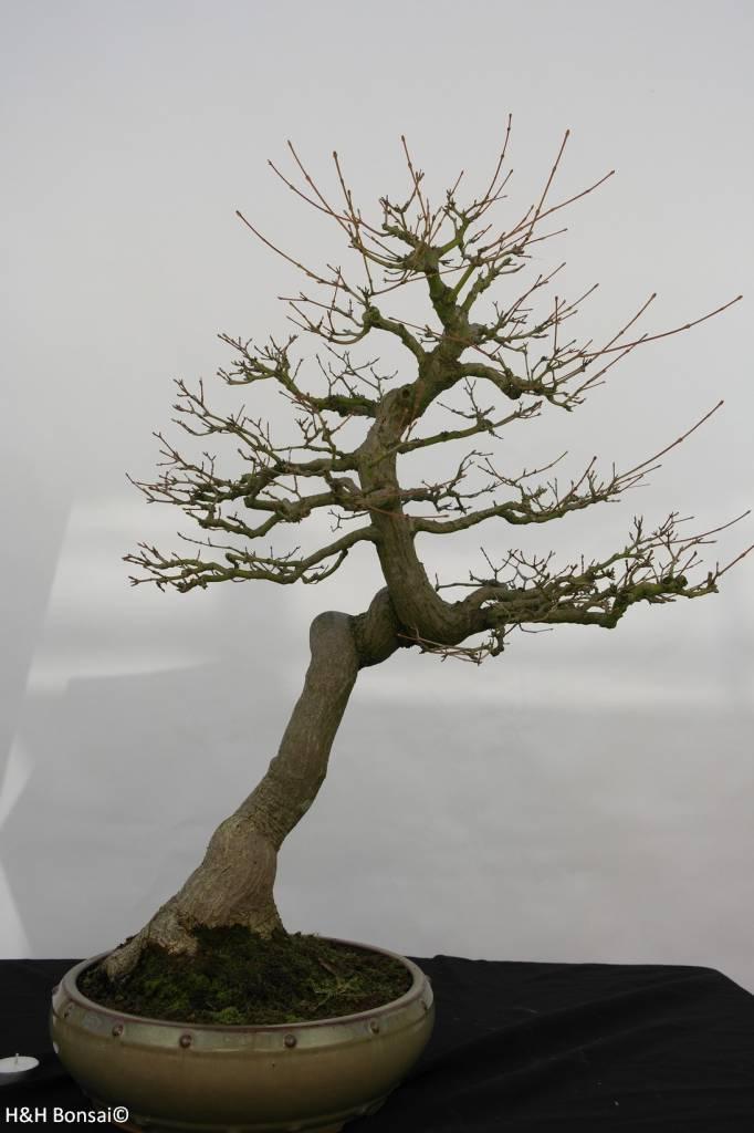 Bonsai Acer palmatum, no. 5806