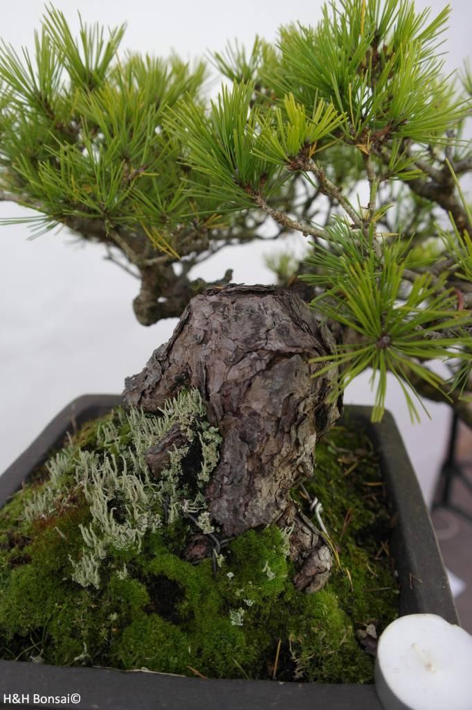 Bonsai Pinus densiflora, no. 5837