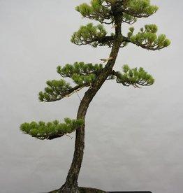 Bonsai Pinus pentaphylla, no. 5838