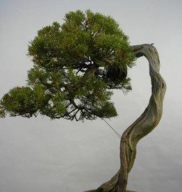 Bonsai Juniperus chinensis itoigawa, no. 5846
