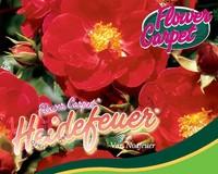 Rosa Flower Carpet 'Heidefeuer'