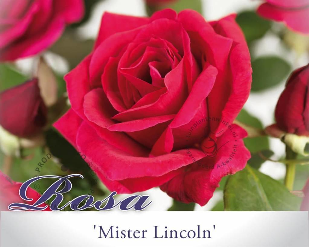 Rosa 'Mister Lincoln'