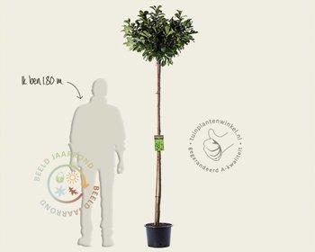 Prunus laurocerasus 'Etna' - 180 cm stam