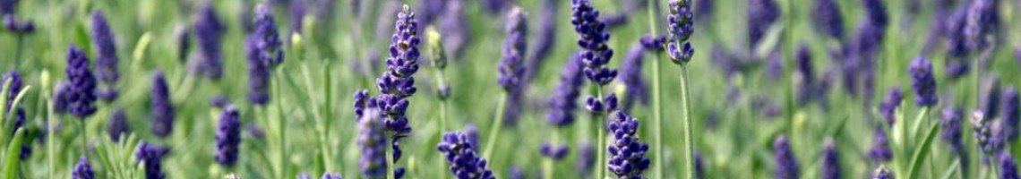 Lavendel Hidcote