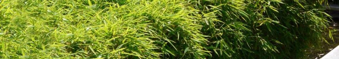 Fargesia (Niet-woekerende bamboe)