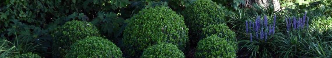 Buxusbollen
