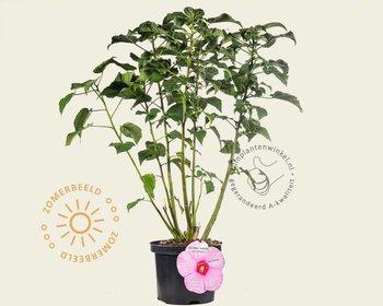 Hibiscus newbiscus 'XXL' - pink