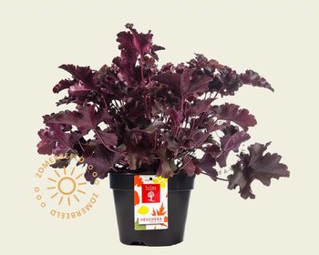 Heuchera 'Crimson Curls'