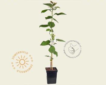 Prunus avium 'Sylvia' - zuilvorm