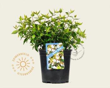 Abelia x grandiflora 'Sherwood'