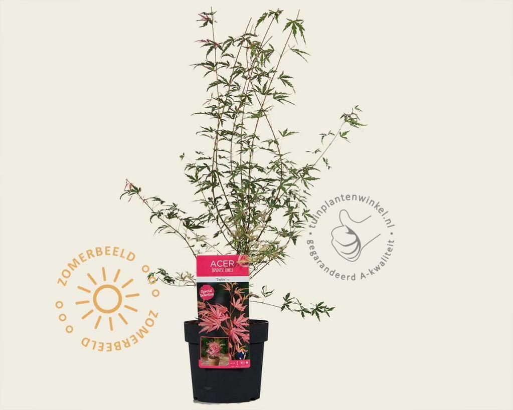 Acer palmatum 'Taylor'