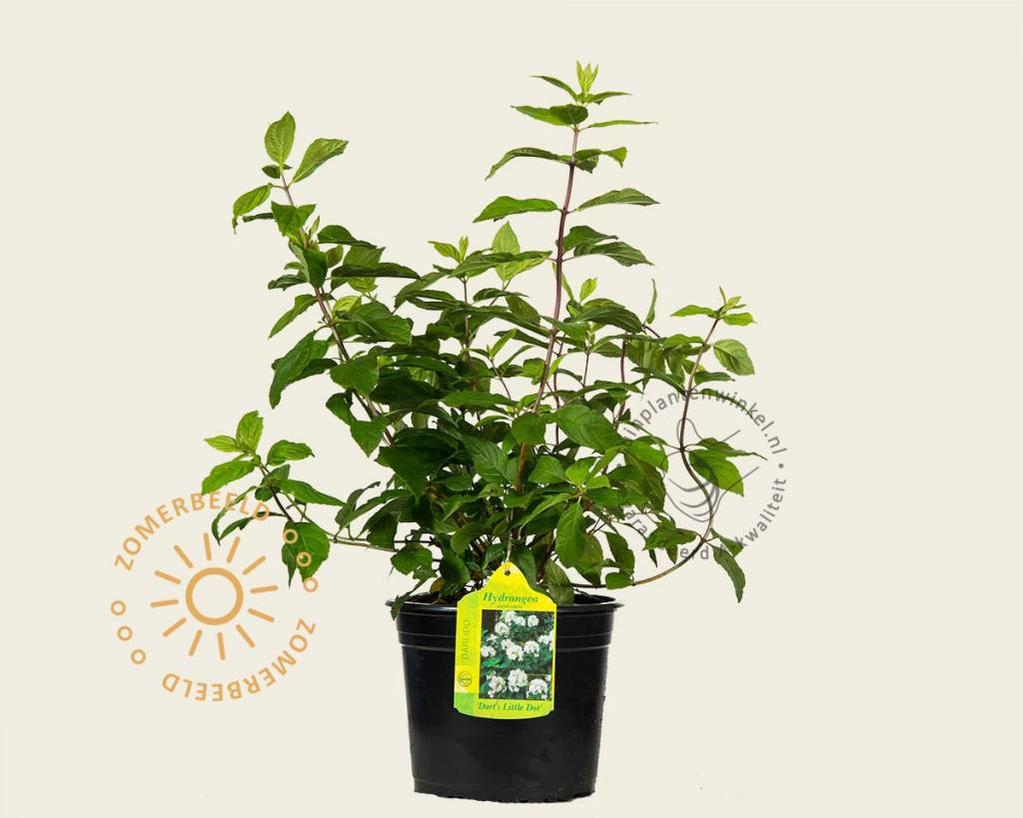 Hydrangea paniculata 'Darts Little Dot'