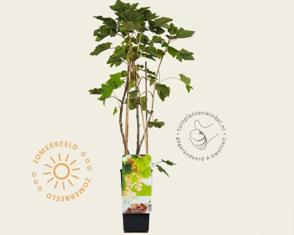 Ribes rubrum - Witte Bes-