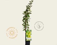Ribes uva-crispa 'Hinnonmaki Grun'