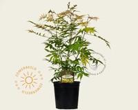 Sorbaria sorbifolia 'Sem'