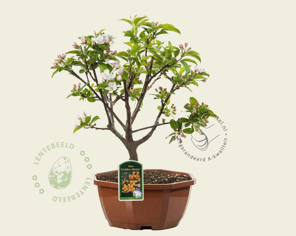 Malus 'Golden Henry' - bonsai in schaal