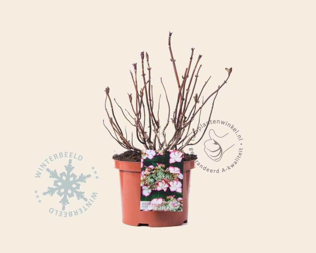Hydrangea macrophylla 'Love You Kiss' - Hovaria