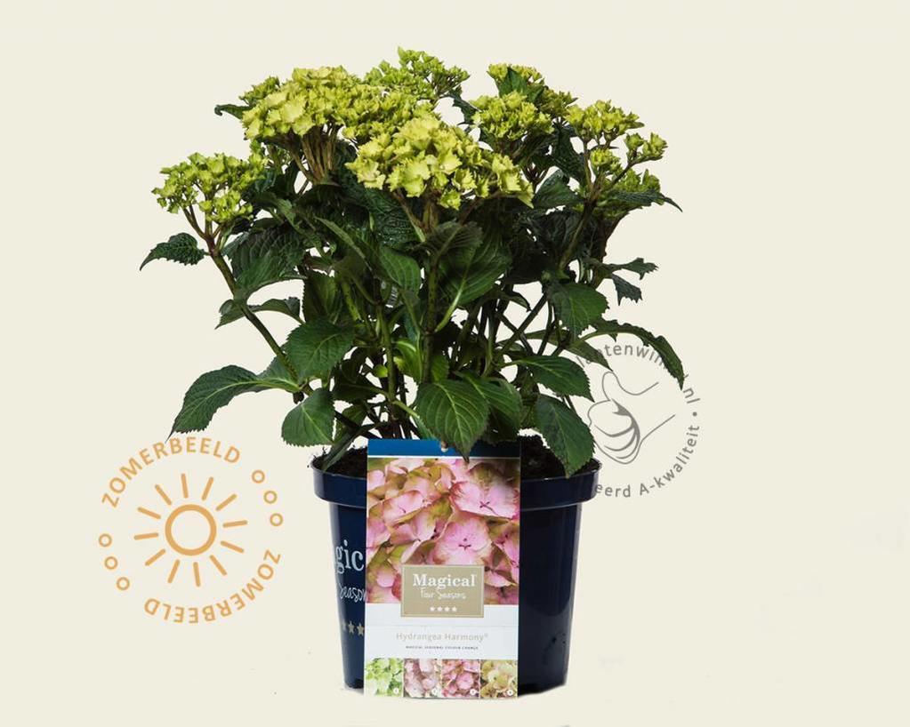 Hydrangea macrophylla 'Magical Harmony' (roze)