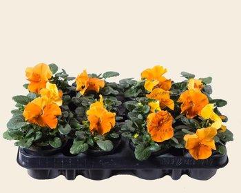 Viool Grootbloemig 'Matrix Oranje' - Tray 12 st.