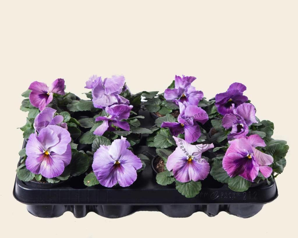 Viool Grootbloemig 'Delta Purple Surprise' - Tray 12 st.