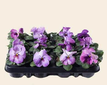Viool Grootbloemig 'Delta Purple Surprise' - Tray 12 st.