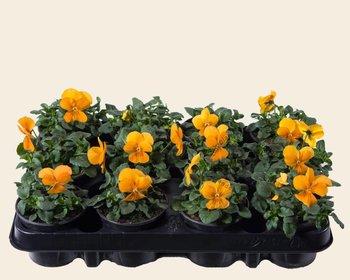 Viool Mini 'Sorbet Oranje'  - Tray 12 st.
