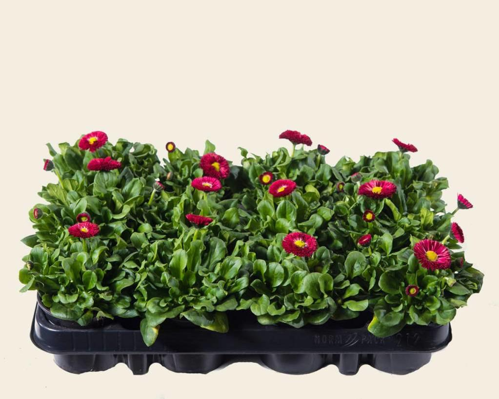 Bellis Rood - Tray 12 st.