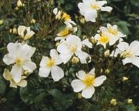 Rosa rambler 'Kiftsgate'