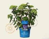Hydrangea macrophylla 'Endless Summer Bloomstar'