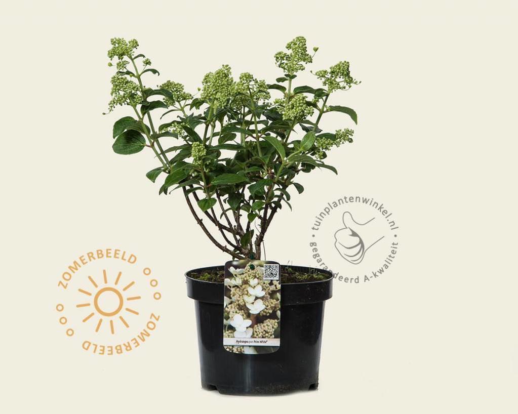 Hydrangea paniculata 'Prim White'