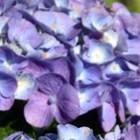 Alle doorbloeiende hortensia