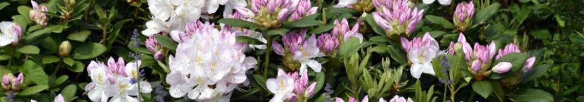 Alle rhododendrons