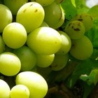 Oude druivenstronken