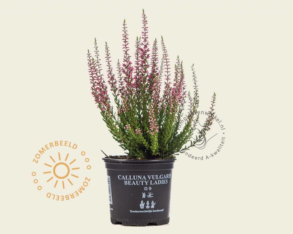 Calluna vulgaris 'Beauty Ladies Merlijn' - Roze