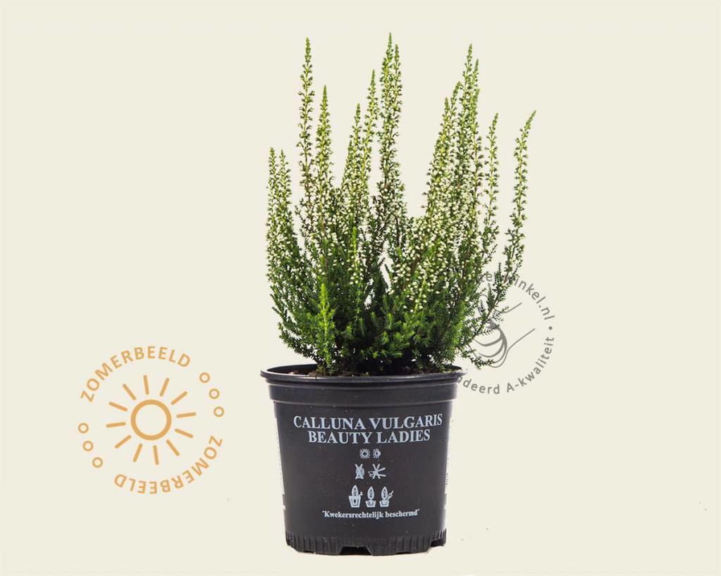Calluna vulgaris 'Beauty Ladies Verenka' - Wit
