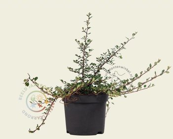 Cotoneaster procumbens 'Streibs Findling'