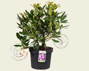 Rhododendron catawbiense 'Grandiflorum'