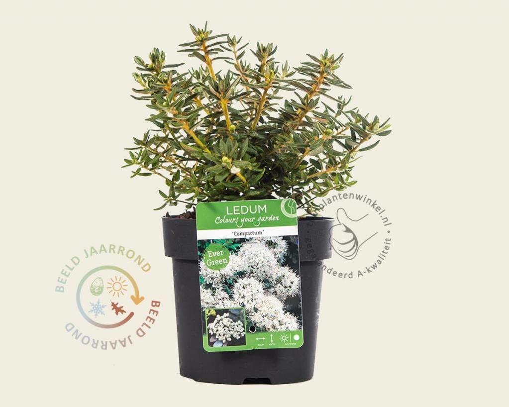 Ledum groenlandicum 'Compactum'