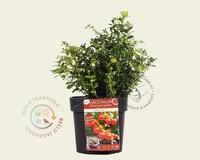 Vaccinium vitis-idaea 'Red Candy'