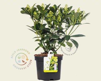Skimmia japonica 'Finchy'