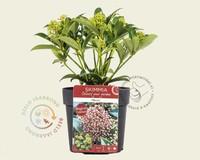 Skimmia japonica 'Marlot'