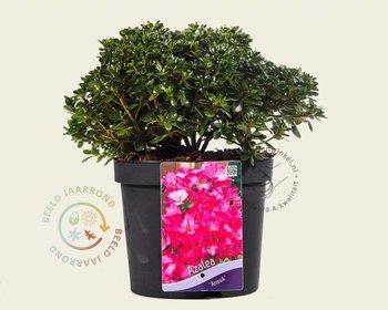 Rhododendron Azalea 'Anouk'